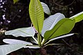 Plumeria rubra 13zz.jpg