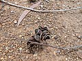 Pods of (Acacia auriculiformis) at Kambalakonda Wildlife sanctuary.jpg