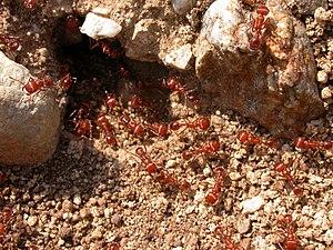 Pogonomyrmex - Image: Pogonomyrmex californicus 2003 05 19