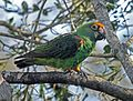 Poicephalus gulielmi -Birds of Eden, South Africa-8a.jpg