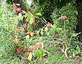 Poinsettia bush belize.jpg
