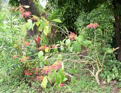 Poinsettia bush belize.jpg