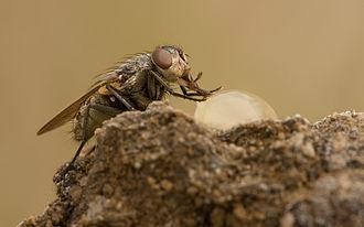 Calliphoridae - Pollenia rudis female