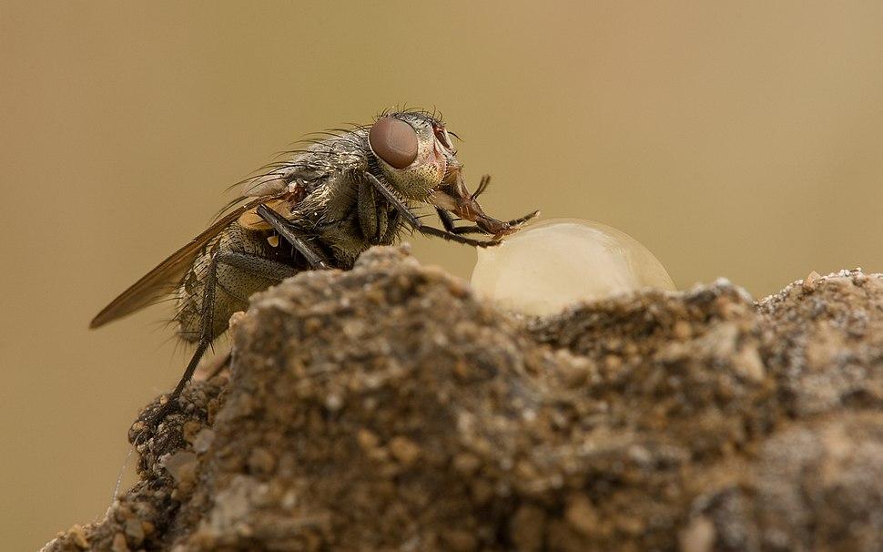 Pollenia rudis female 2