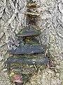 Polyporales - Fomes fomentarius - 4.jpg