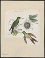 Polytmus iolaemus - 1820-1860 - Print - Iconographia Zoologica - Special Collections University of Amsterdam - UBA01 IZ19100167.tif
