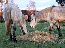 Ponies feeding straw new forest.jpg