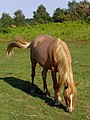 Pony grazing on Cadnam Common, New Forest - geograph.org.uk - 455618.jpg