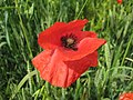 Poppy in a field near Elmley Castle - geograph.org.uk - 850225.jpg