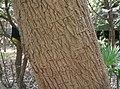 Populus angulata1.jpg