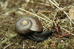 Powelliphanta marchanti DOC 1986.jpg