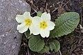 Primula acaulis subsp. acaulis (Çuha çiçeği) 05.jpg