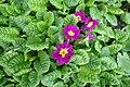 Primula juliae kz01.jpg
