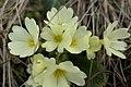 Primulaceae-1.jpg