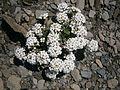 Pritzelago alpina 005.JPG