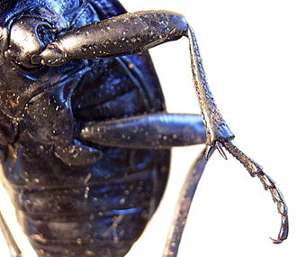 Appendage - A beetle leg