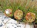Protea montana rebeccaryan iNat 39755290b.jpg
