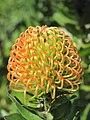 Proteaceae (Serres de la Madone) close-up.jpg