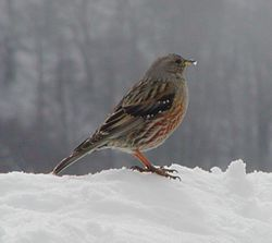 Alpine Accentor (adult)