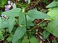 Prunella vulgaris Kiev3.jpg