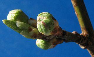 320px-Prunus-buds-1 dans PLANTES