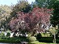 Prunus cerasifera, var atropurpurea.jpg