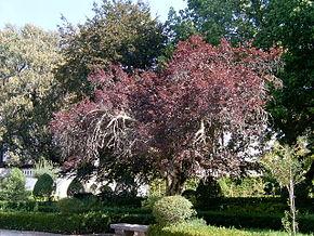 Prunus cerasifera — ...