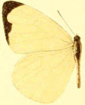 Pseudopieris nehemia - Pseudopieris nehemia aequatorialis
