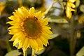 Pszczoła na słoneczniku.jpg