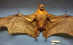 Large flying fox - Image: Pteropus vampyrus Museo Civico di Storia Naturale Giacomo Doria Genoa, Italy DSC02536