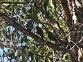 Ptilotula ornata (39314869534).jpg