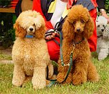 Apricot And Red Poodles