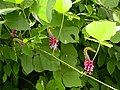 Pueraria montana lobata (5182514160).jpg