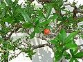 Punica granatum bonsai 3.jpg