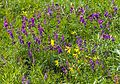 Purple and yellow flowers alongside Firth River in Ivvavik National Park, YT.jpg