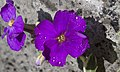 Purple flower (3407274240).jpg