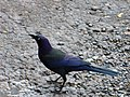 Purplebird.jpg