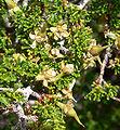 Purshia glandulosa 11.jpg