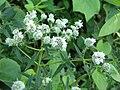 Pycnanthemum virginianum002.jpg