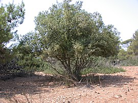 Quercus calliprinos tree 1.JPG