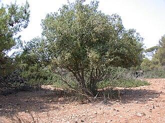 Quercus calliprinos - Image: Quercus calliprinos tree 1