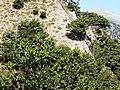 Quercus coccifera przy gornej granicy lasu 2.jpg