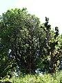 Quercus floribunda 2.jpg