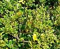 Quercus pacifica 2.jpg