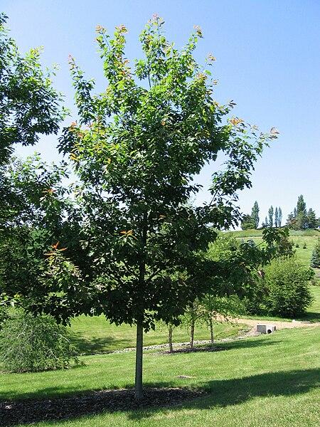 File:Quercus rubra 20060624.jpg