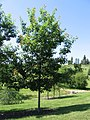 Quercus rubra 20060624.jpg