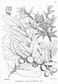 Quercus semecarpifolia Bra64.png