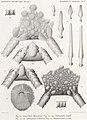 Résultats du voyage du S.Y. Belgica en 1897-1898-1899. Zoologie - Échinides et ophiures (1902) planche 5.jpg