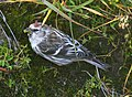 REDPOLL, HOARY (2008-09-13) Gambell, Ak (2853966721).jpg