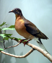 Passenger Pigeon: From World's most abundant bird to extinct in less than 100 years.